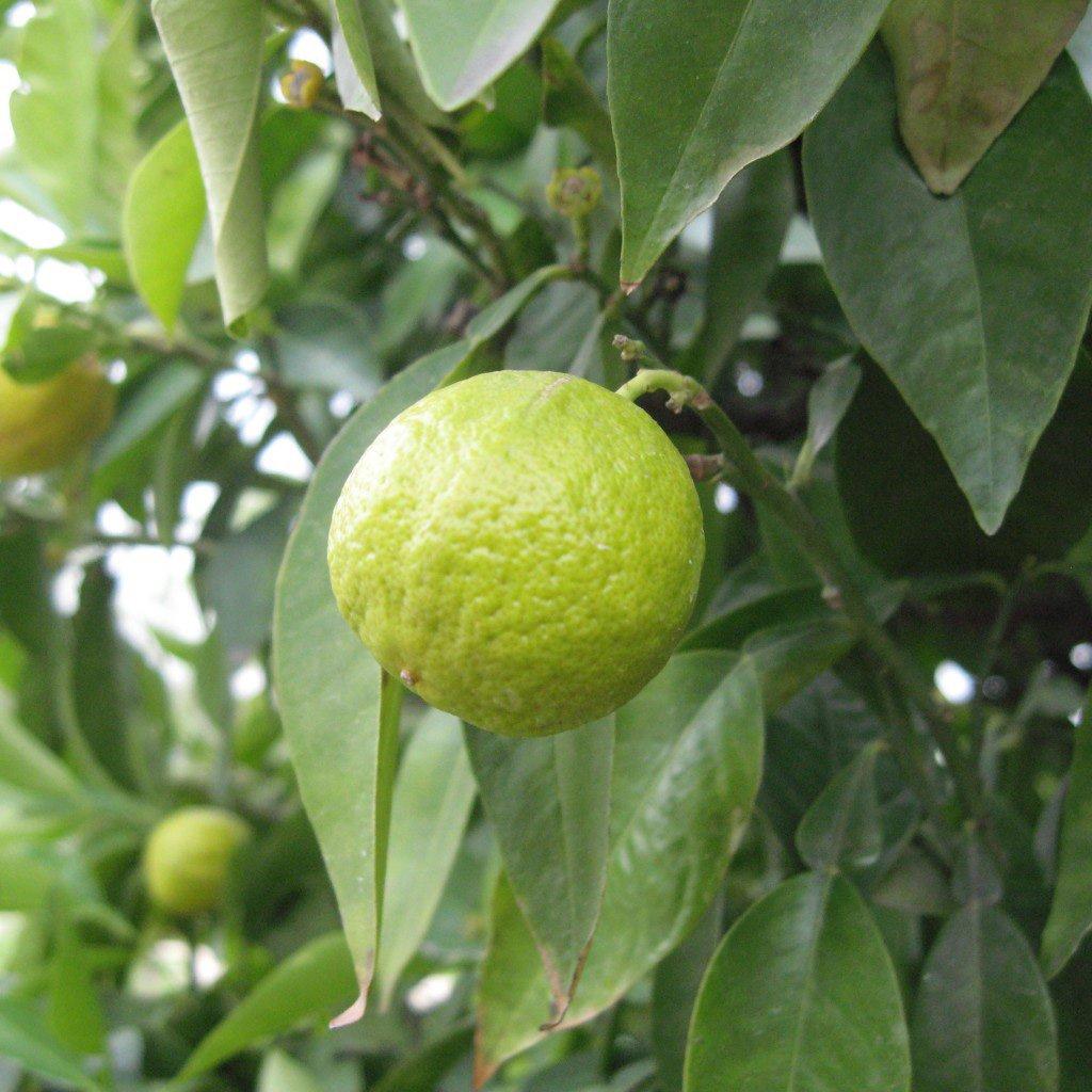 photo of lemon